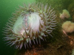 green anemone (lemurdillo) Tags: california santacruz fauna montereybay scuba anemone 2009 santacruzwharf cnidaria anthopleuraxanthogrammica giantgreenanemone dive275
