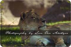 Lions and Tigers and Bears oh my! (Lisa Van Alstyne) Tags: phoenix photoshop canon tamron lioness phoenixzoo meetupcom weekendouting ooc maricopacounty roundedcorner gettingtogether xti arizonaphotographers