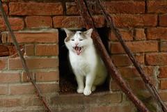 DSC_0794 (Gio (Gio)) Tags: italy cats yawn natura d200 venezia gatti sigma2470mm28