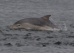 Moray firth dolphin (Ally.Kemp) Tags: point scotland dolphin scottish dolphins moray rosemarkie blackisle firth chanonry bottlenose fortrose rossshire chanonrypoint