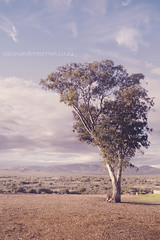 Growing Lonely (Nico van der Merwe | Calitzdorp | Klein Karoo) Tags: tree vintage bench lonely isolated westerncape 1897 route62 kleinkaroo littlekaroo calitzdorp swartbergmountains guestfarm rietfontein ostrichpalace