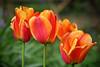 Dutch Delight revisited (Ian Hayhurst) Tags: orange dutch photoshop tulips retouch