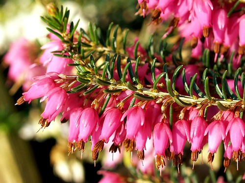 Early spring flowers of a red winter heather.