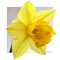 My favorite flower! (okkibox) Tags: flower fleur yellow daffodil blume 2009 narcis fujifinepix narcissus bloem artistimpression goldmedalwinner goldstaraward excellentsflowers trompetnarcis awesomeblossoms okkibox worldsartgallery