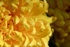 let me get the words out before i burst (sevenworlds16) Tags: new decorations flower yellow temple year chinese luck bloom chrysanthemums