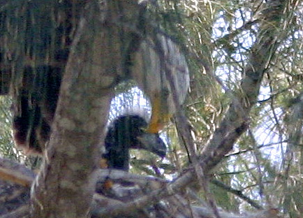 Eagle With Chick Close 20090219