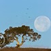 Perigee Moon & California Oak by jimgoldstein