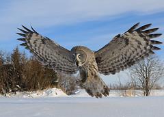 Lapinpöllö (mattisj) Tags: bird greatgreyowl owl greatgrayowl strixnebulosa lintu lapinpöllö specanimal lentokuva supereco