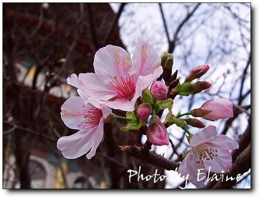 天元宮櫻花3