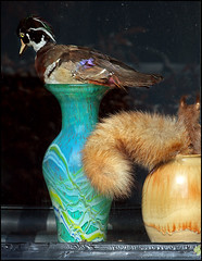 I DO BOTH (ESOX LUCIUS) Tags: holland window dead duck stuffed squirrel ceramics taco slijkewijk josvandoorn
