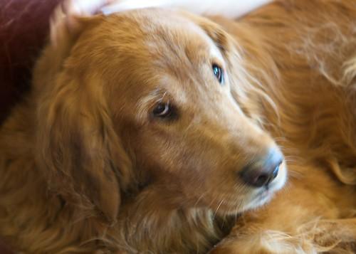 mournful dog