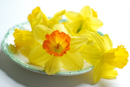 Just daffodils. No cake.
