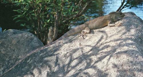 lizard by krustycheyney.