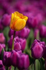 One Yellow in a Sea of Purple (. Andrew Dunn .) Tags: flower yellow petals purple farming norfolk tulip eastanglia tulipfields northnorfolk tulipagesneriana noncy wild5s
