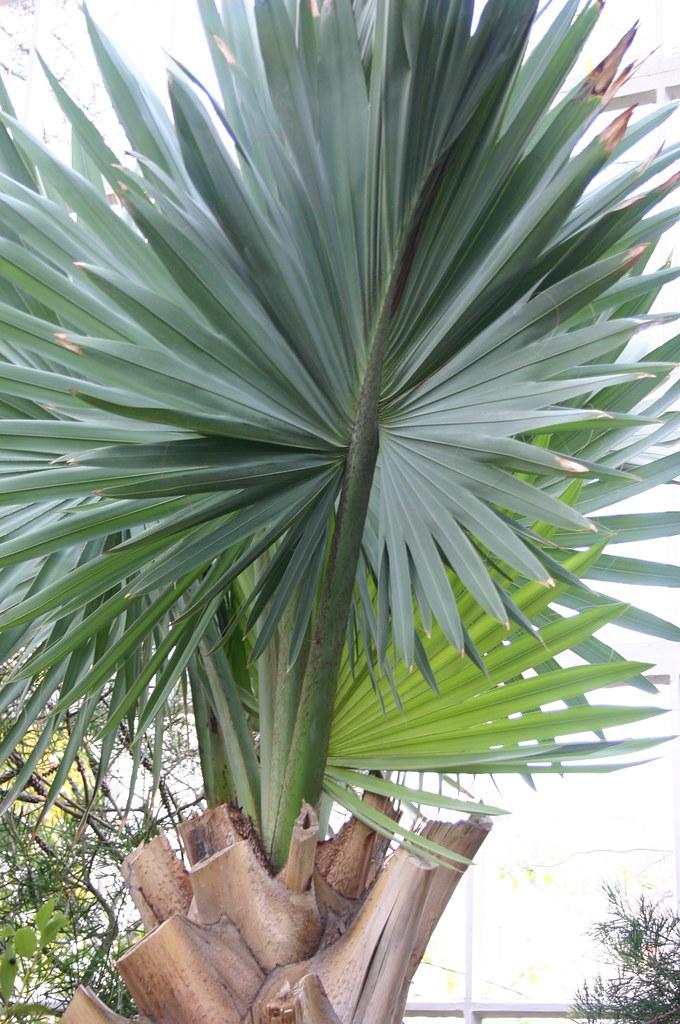 Foto: Bismarck palm