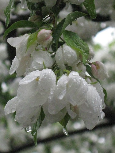 tree blossoms with raindrops