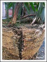 Step 5: Propagating Rhapis excelsa or Lady Palm, April 2 2009 at our backyard. Downsize its width