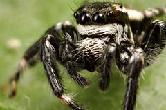 Jumping Spider (Dwi Janto Johan) Tags: macro hongkong nikon d70s micro lantauisland reverselens tungchung sb24 sb25 br2a orderaraneaespiders kenkoexttube36mm canonfd24mm128ssc phylumarthropodaarthropods notaxonentelegynes infraorderaraneomorphaetruespiders classarachnidaspidersscorpionsmitesandticks familysalticidaejumpingspiders