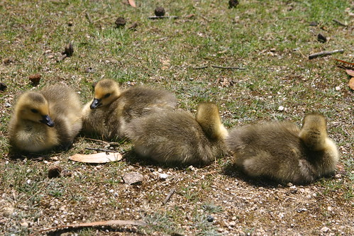 Goslings Take A Break