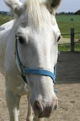 "Sweet ""girl"" (marta) Tags: horses white country campagna cavalli agriturismo gabbro paneevino theperfectphotographer"