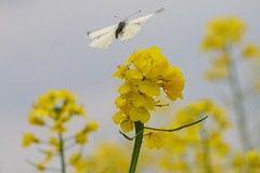 The Lightness Of Being (ivlys) Tags: butterfly insect spring schmetterling rapeseed pierisbrassicae flickrsbest ivlys groserkohlweisling rubyphotographer