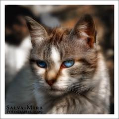 Feline eyes :: HDR (Salva Mira) Tags: cat eyes feline ojos felino gat ulls pasvalenci fel benirrama salvamira eixidetes eixidetespelpasvalenci