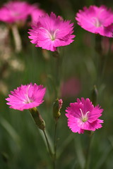 Cheddar pinks (*mvh) Tags: ri pink flowers flower macro green canon garden lens island purple little sigma providence rhode cheddar amateurs fff fifty nifty 70300 walkinginbeauty flowerpicturesnolimits rainofflowers freeflickrflowers