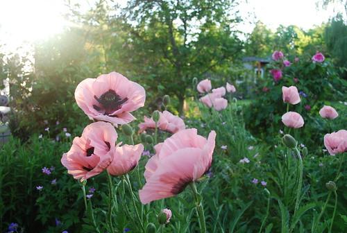 My own field of poppies your homebased mom garden mightylinksfo