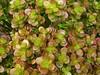"""Crassula ovata """"Hoja pequeña"""" (Luis Borja) Tags: succulent canarias tenerife canary crassula suculenta suculentas crasa"""