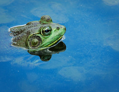 Warts and All (JLMphoto) Tags: nature pond wildlife prince frog explore warts croak bullfrog rbit naturesfinest natureselegantshots jlmphoto vosplusbellesphotos frogheadshot didntgetamodelrelease rbitrbitrbit