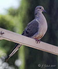 Here's Looking At You Kid!!! (~MAMA Z~) Tags: birds backyard perch mourningdove avian dirtywindow