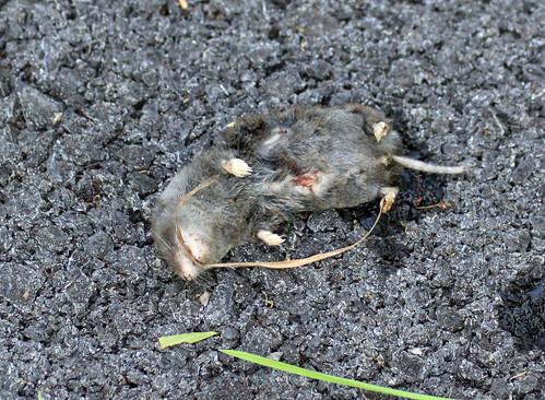 Shrew #1 killed by cat