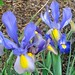 Dutch Iris from Marsha Richeson