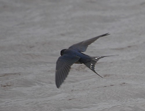 swallow2