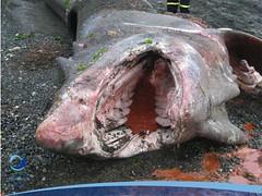 cmaximus03 (Tiburones Chile) Tags: chile peregrino diversidad biodiversidad especieamenazada tiburonperegrino sabiasquedescubre