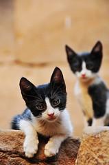 Egyptian kitties (MelindaChan ^..^) Tags: pet animal cat temple kitten wrestling pussy egypt kitty mel egyptian melinda edfu 埃及 chanmelmel melindachan