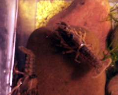 Crayfish_1 (MtnBkr2009) Tags: pets aquarium crab lobster crayfish cray freshwater crawdaddy craw crawdads