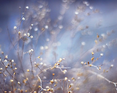 HNFF! (simply colleen) Tags: blue winter weed nikon texas bokeh january naturallight wildflowers frontpage manualfocus 50mm18 driedflowers babysbreath d60 softcolors inthecountry explored inthefield impressedbeauty teenytinyflowers hnff niftyfiftyfriday toughshottocatchonawindyday