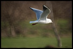 Black Headed Gull (tomstory) Tags: black gull headed ukbirds