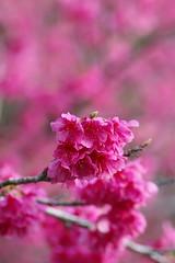 日本一早い、満開の桜 (沖縄その1)