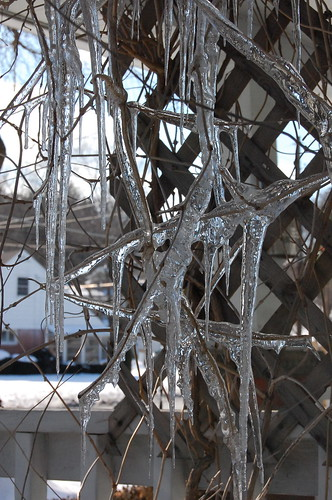 Icicles on my vines