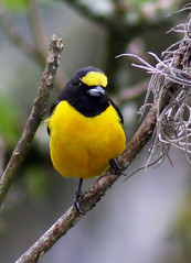 Fifi-verdadeiro, Purple-throated Euphonia (Euphonia chlorotica) (claudio.marcio2) Tags: bird nature searchthebest natureza pssaro inspire soe breathtaking aclass wonderfulnature blueribbonwinner justonelook supershot topshots birdsbirdsbirds naturesplus goldenmix golddragon wingedwonders mywinners godnature shieldofexcellence anawesomeshot impressedbeauty nationalgeographicareyougoodenough avianexcellence excellenceinavianphotography diamondclassphotographer photosandcalendar citritgroup empyreananimals photostosmileabout theworldsbestnaturewildlifeandmacrophotography betterthangood theperfectphotographer goldstaraward dragongoldaward natureselegantshots birdsinsideandoutside theenchantedcarousel damniwishidtakenthat worldnaturewildlifecloseup fantasticwildlife vosplusbellesphotos panoramafotogrfico thewonderfulworldofbirds naturescreations ~newenvyofflickr~ saariysqualitypicturesgallery dragonflyawardsgroup thebestofmimamorsgroups thewonderfulofbirds