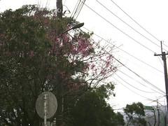 又到櫻花盛開的季節
