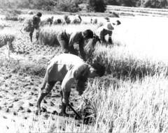 Rice harvest, 1972 (Homer 5004) Tags: rice harvest sickle 1970s 1972  gyeonggi  yeoju  sanggyori yju kynggi