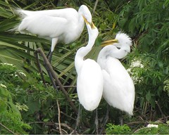 Feeding Time At the Rookery (Cat's Eye View (Dawn Marie)) Tags: family nature mom orlando florida eating egret greategret birdwatcher gatorland supershot juveniles specanimal wingedwonders avianexcellence excellenceinavianphotography eiap mykindofpicturegallery