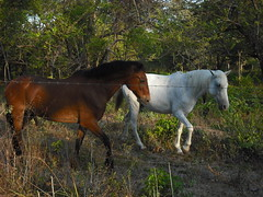 Horses along the beach path