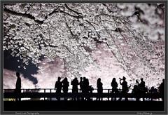 Tokyo Cherry Blossom Light Up