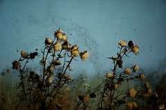 ...and again (ilcorvaccio) Tags: flowers texture photoshop maddalena brescia textured cardi cardoons