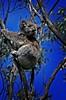 Koala (Bloody Nick) Tags: animals canon honeymoon australia koala greatoceanroad 2008 soe animalplanet capeotway naturalmente abigfave platinumphoto flickrchallengegroup theunforgettablepictures proudshopper