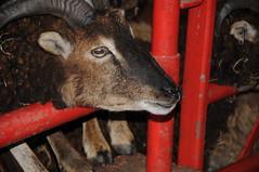 DSC_0839 (incurable_hippie) Tags: cute wool animals community sheep coat sheffield straw horns curly hay breed stable soaysheep heeleycityfarm